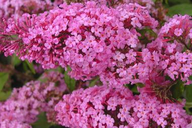 Arbre aux papillons 'Pink Delight'