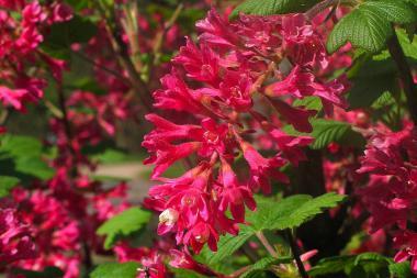 Groseillier à fleurs 'King Edward VII'
