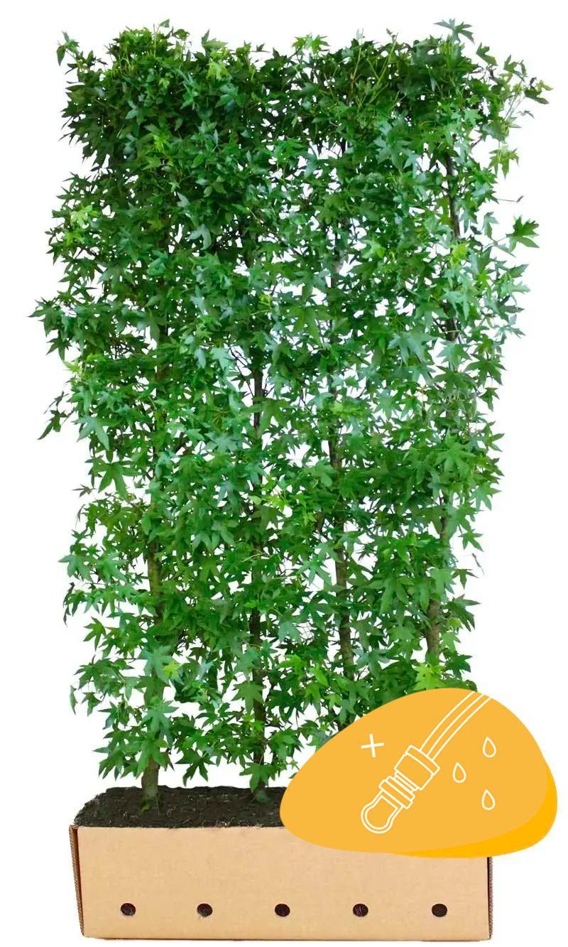 Liquidambar 'Worplesdon' (Liquidambar styraciflua 'Worplesdon') Haies prêtes à planter 200 cm Qualité extra