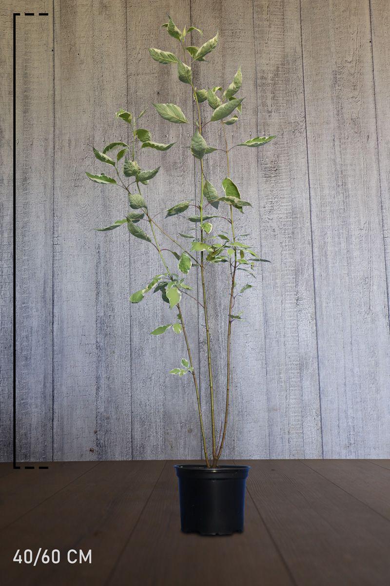 Cornouiller blanc 'Elegantissima'  Conteneur 40-60 cm