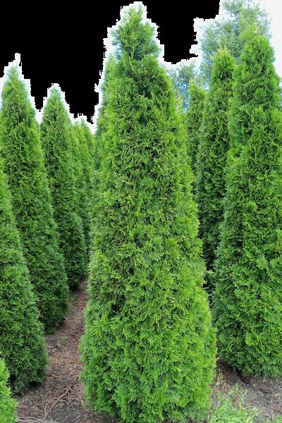 Thuya du Canada 'Smaragd'  En motte 200-225 cm Qualité extra