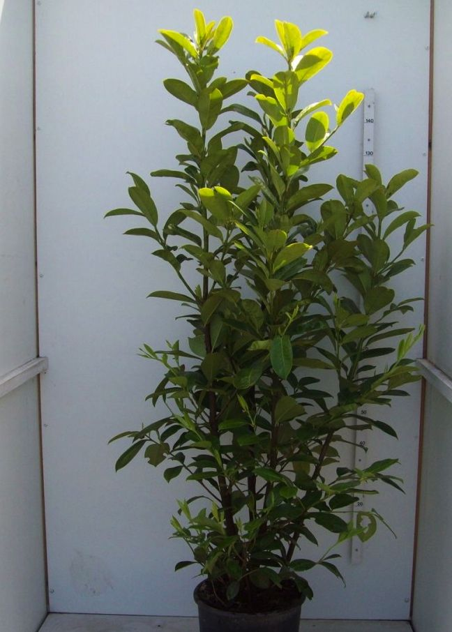 Laurier palme 'Novita'  Conteneur 175-200 cm