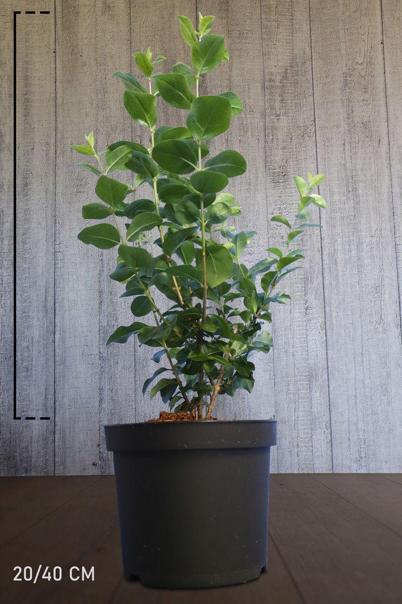 Troène vert, Troène de Californie  Conteneur 20-40 cm