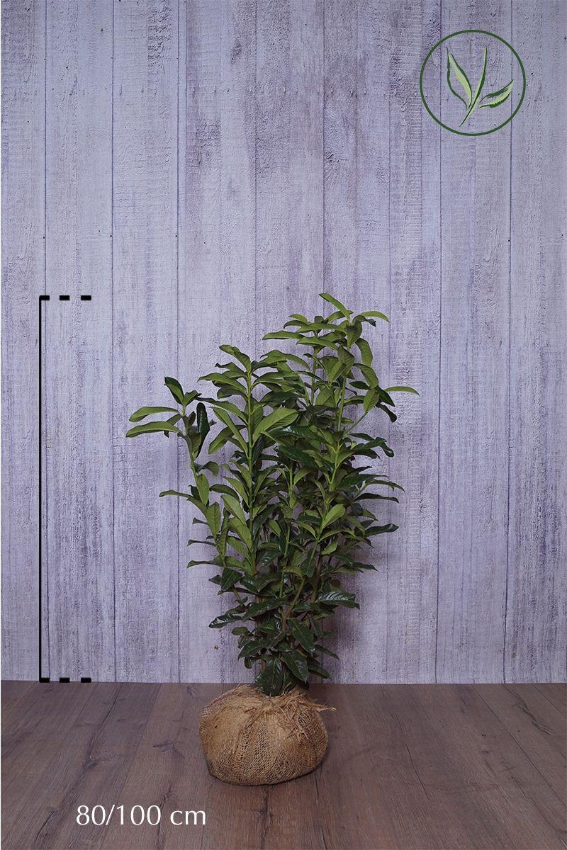 Laurier cerise 'Genolia'® En motte 80-100 cm Qualité extra