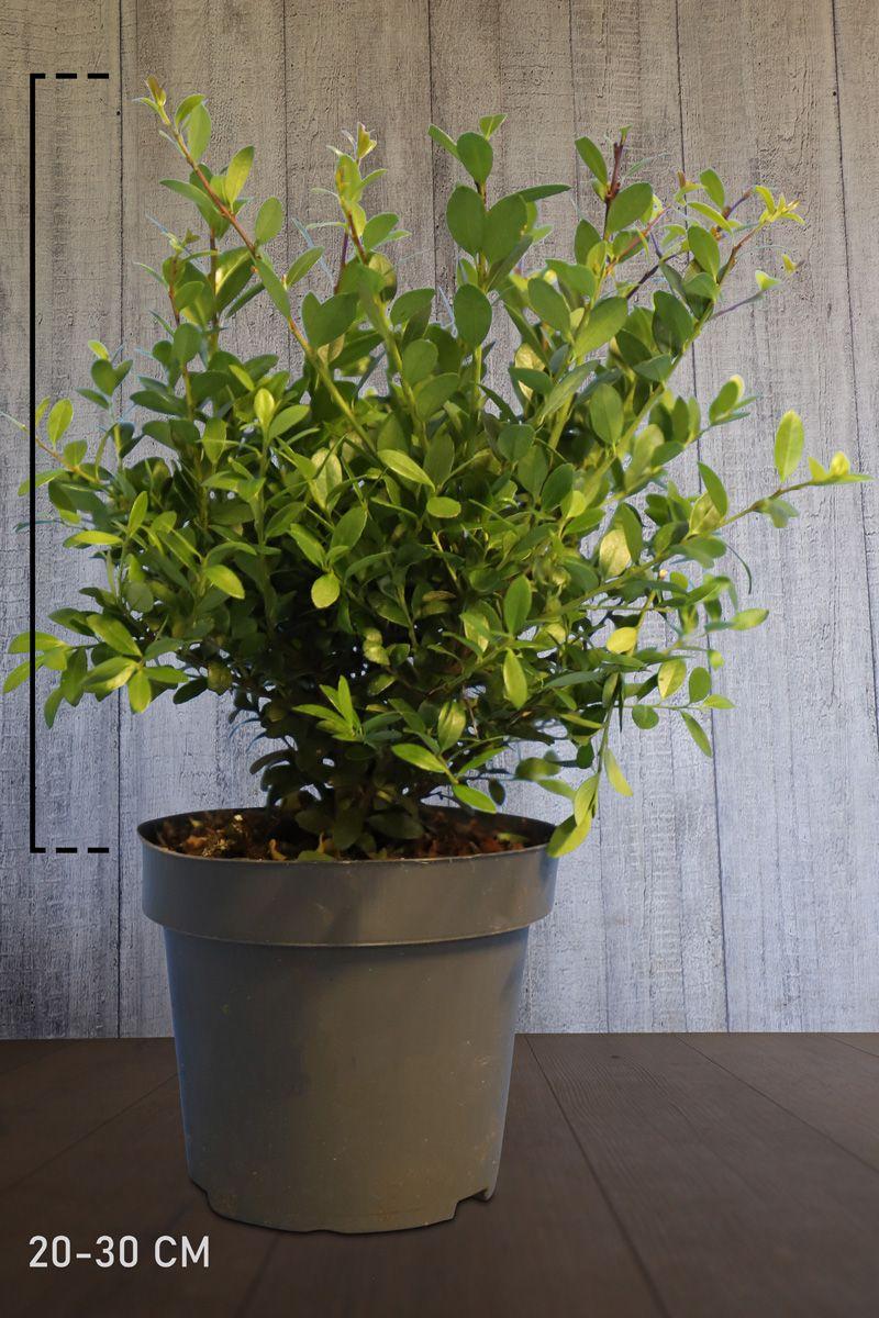 Houx crénelé 'Dark Green' ® En conteneur 20-30 cm