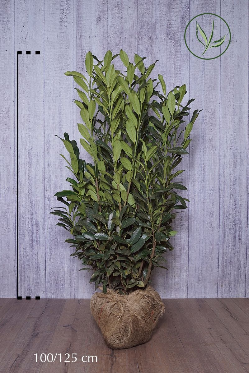 Laurier palme 'Elly'® En motte 100-125 cm