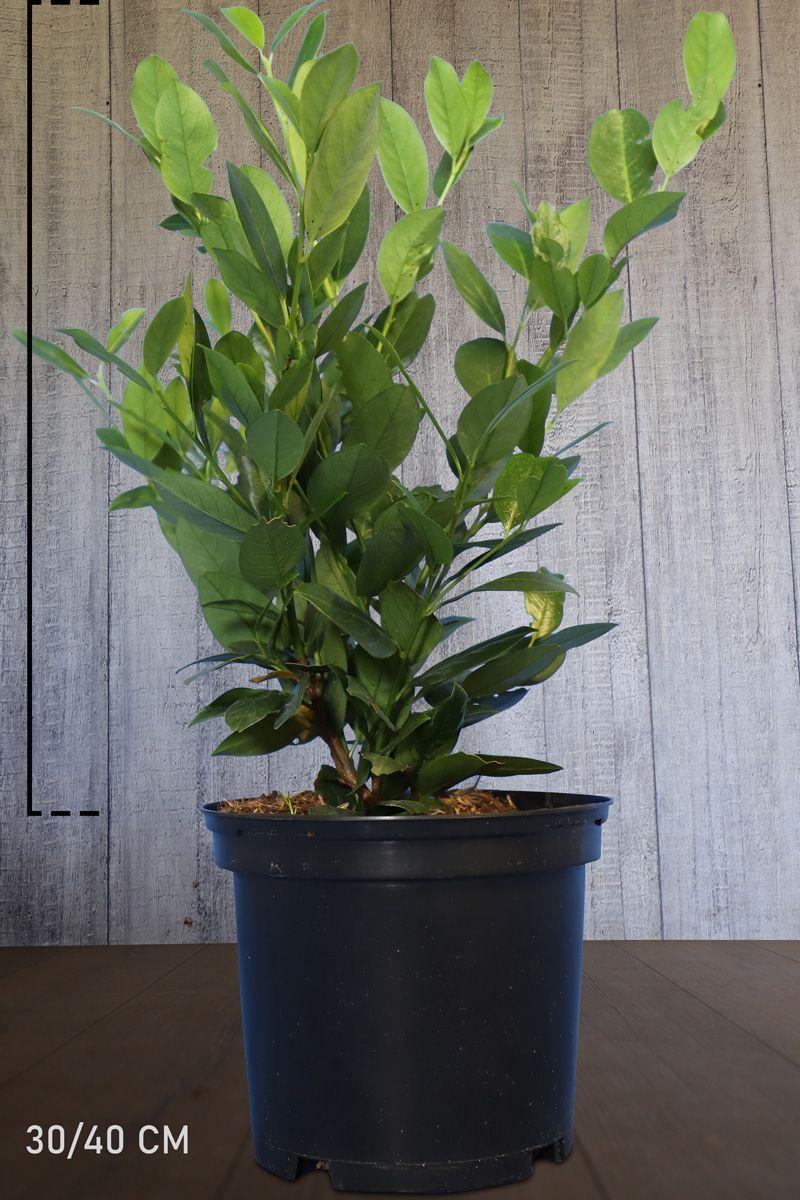 Laurier palme 'Mano' Conteneur 30-40 cm