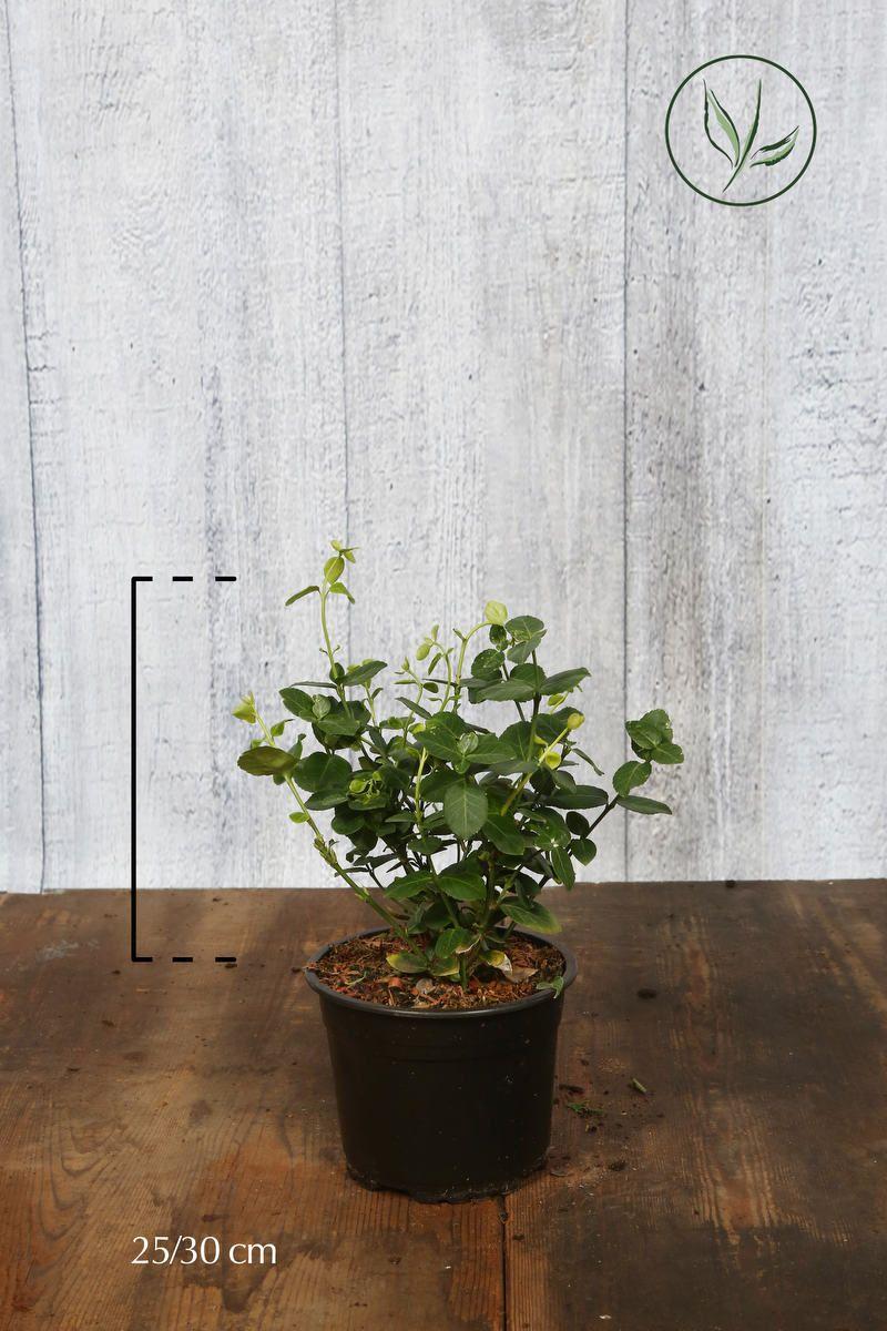 Fusain persistant 'Vegetus' Conteneur 25-30 cm