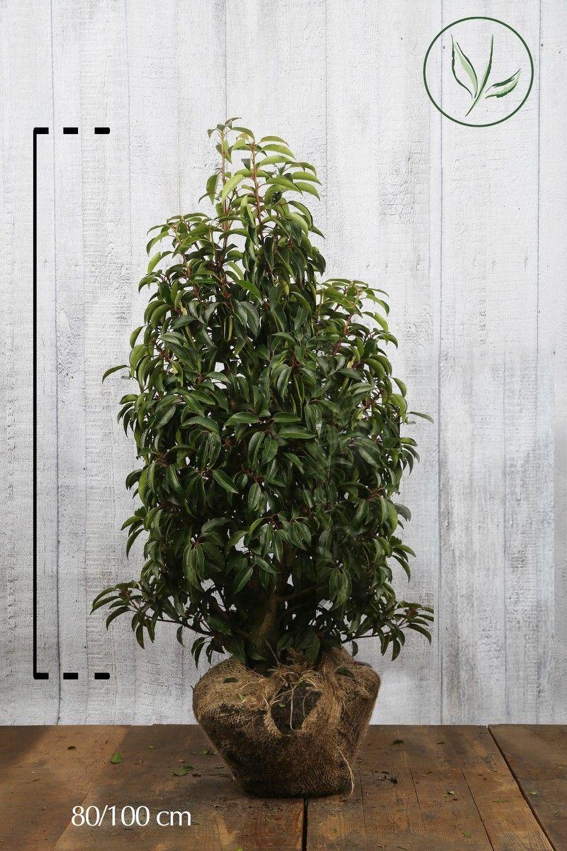 Laurier du Portugal 'Angustifolia'  En motte 80-100 cm Qualité extra