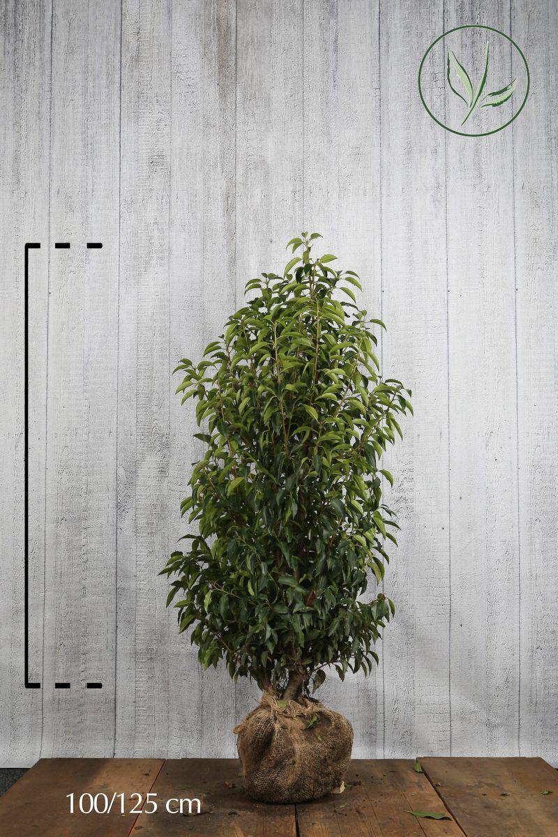 Laurier du Portugal 'Angustifolia'  En motte 100-125 cm