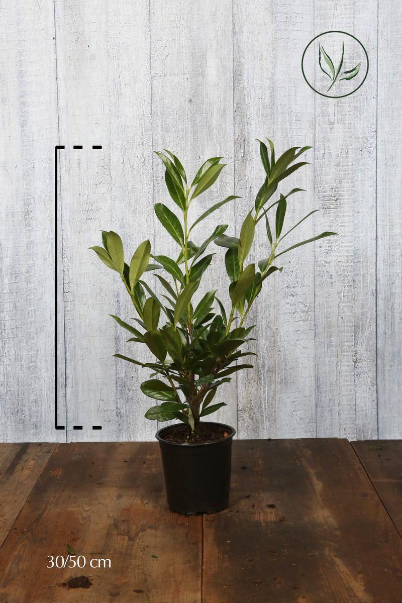 Laurier palme 'Caucasica' Conteneur 40-50 cm