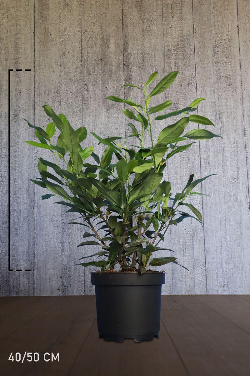 Laurier palme 'Herbergii'  Conteneur 40-50 cm