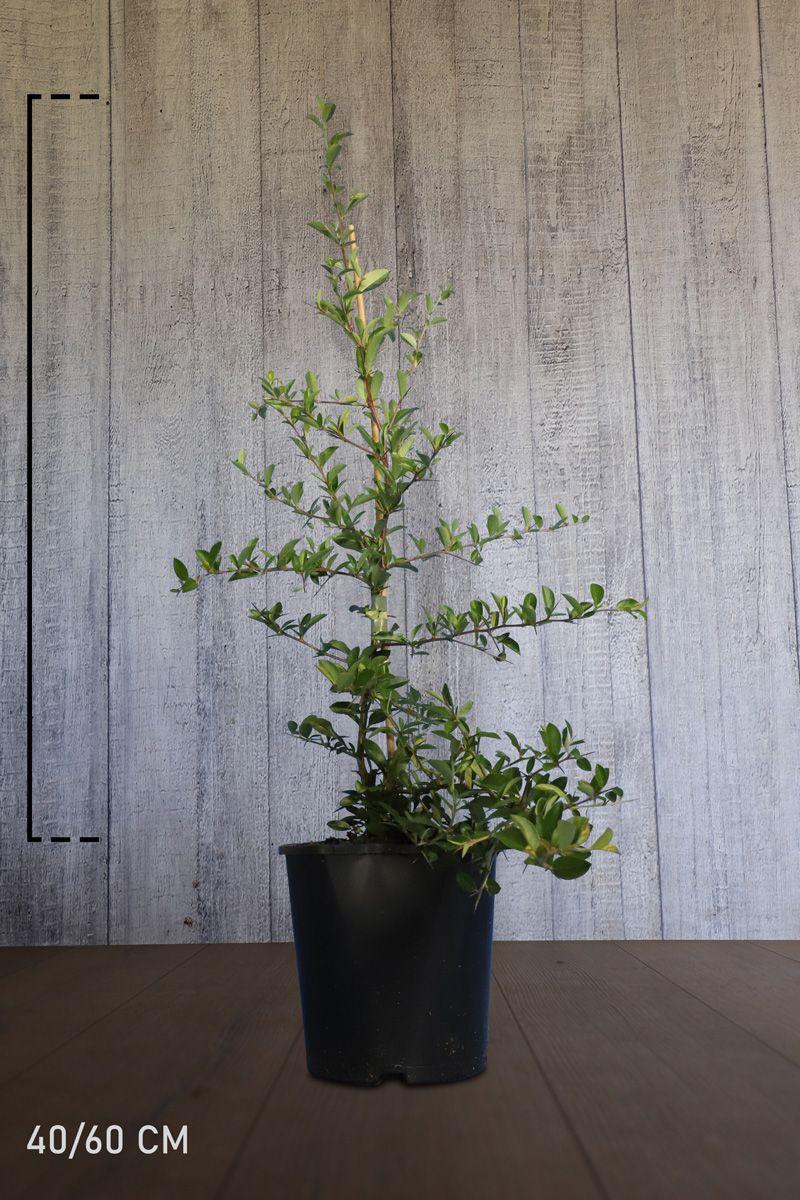 Buisson ardent 'Soleil d'Or'  Conteneur 40-60 cm