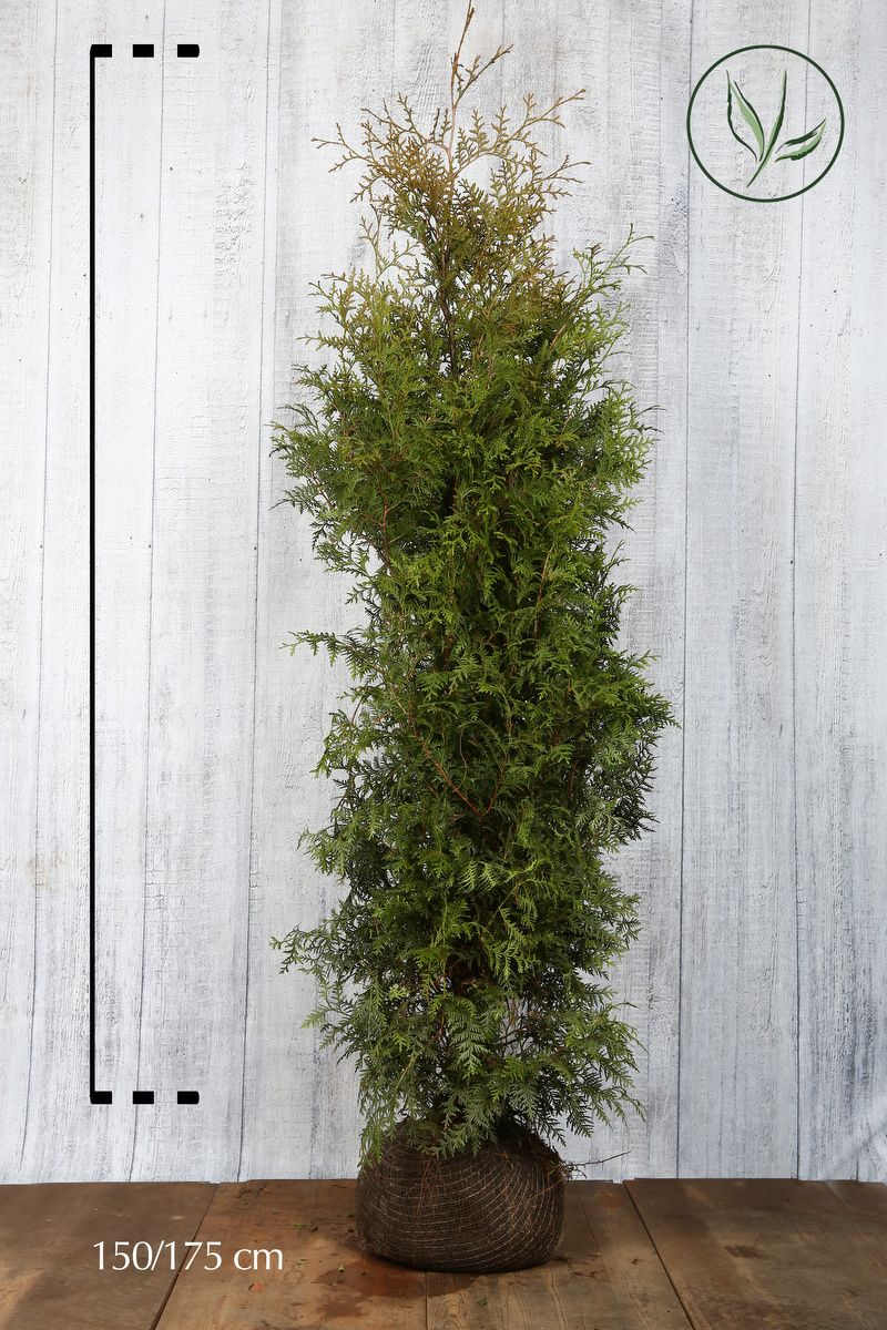 Thuya du Canada 'Brabant' En motte 150-175 cm Qualité extra