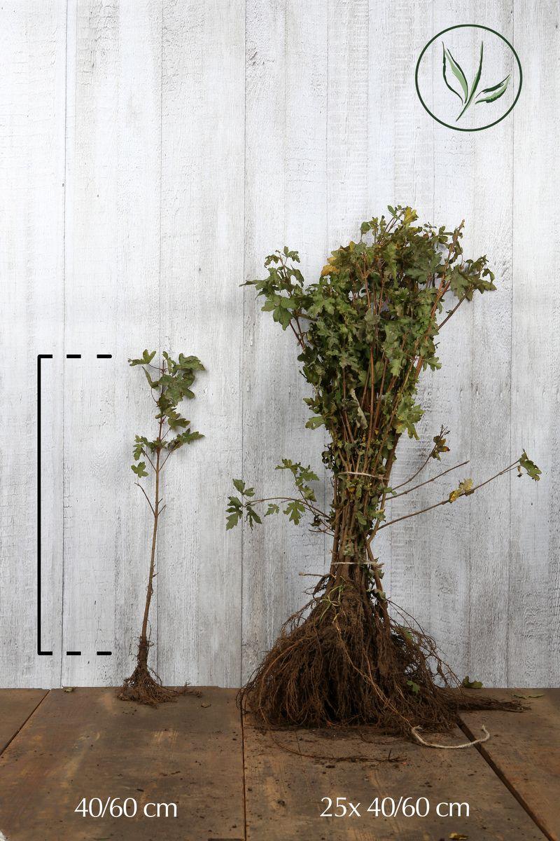 Erable champêtre  Racines nues 40-60 cm