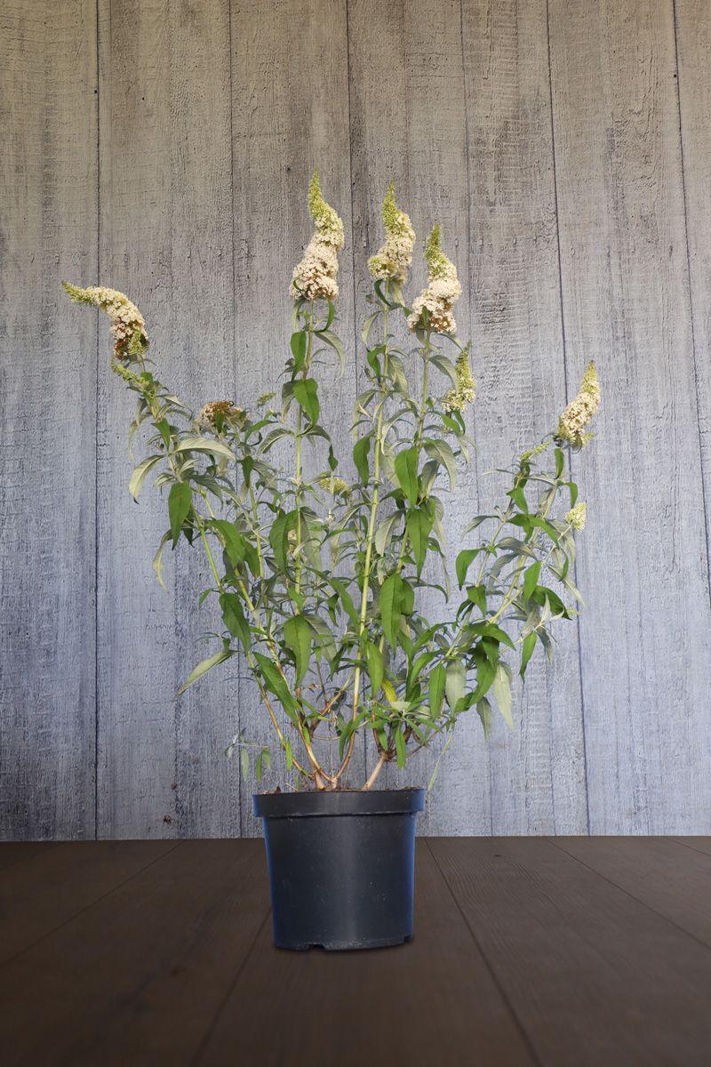 Arbre aux papillons 'White Profusion'  Conteneur 60-80 cm Qualité extra