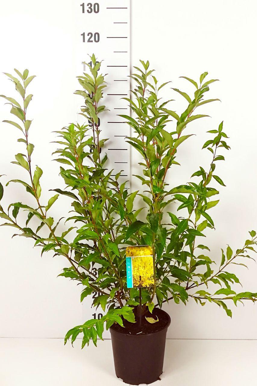 Forsythia hybride 'Spectabilis' Conteneur 60-80 cm Qualité extra