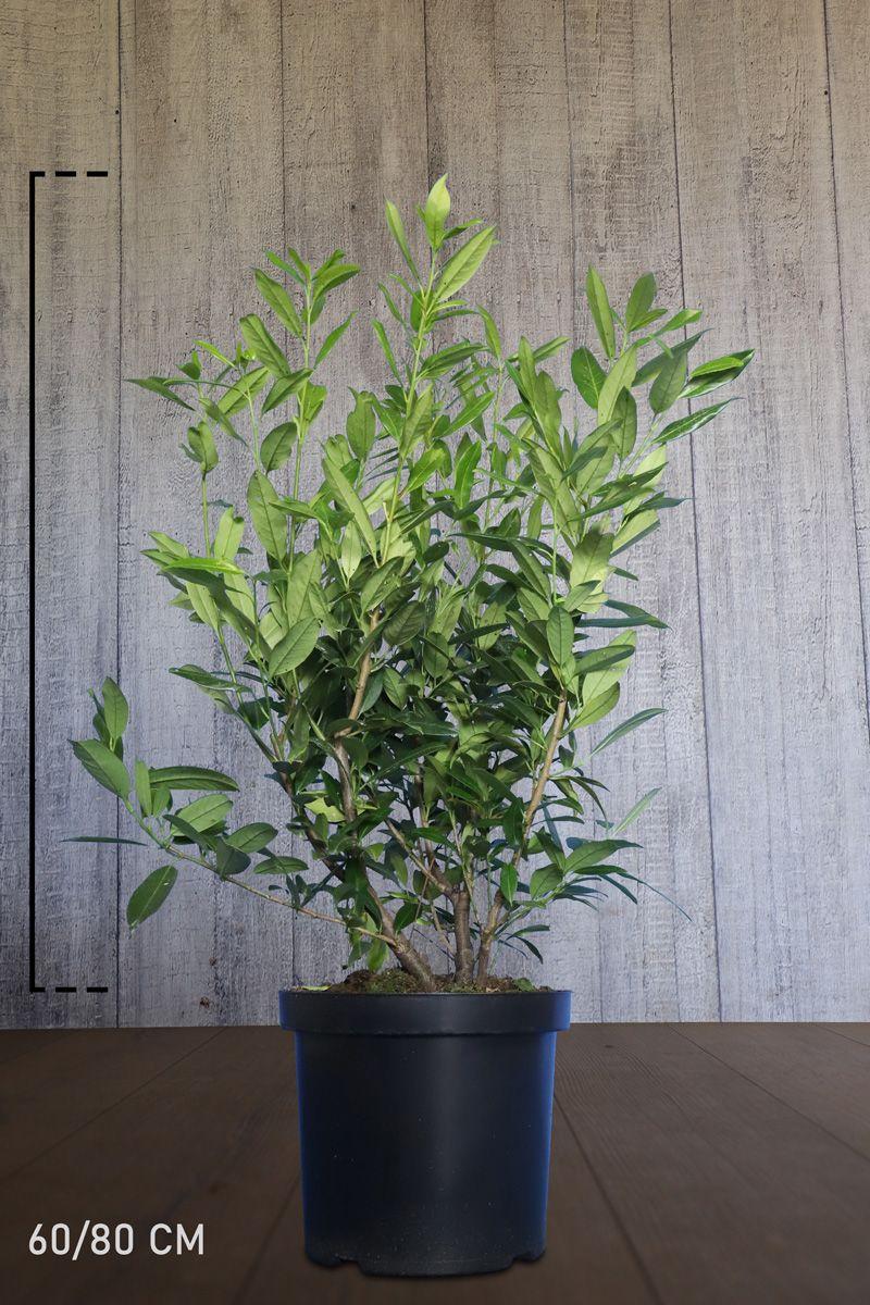 Laurier palme 'Herbergii'  Conteneur 60-80 cm Qualité extra