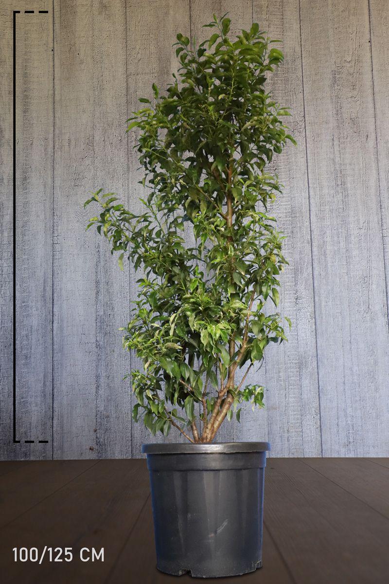 Laurier du Portugal 'Angustifolia'  Conteneur 100-125 cm Qualité extra
