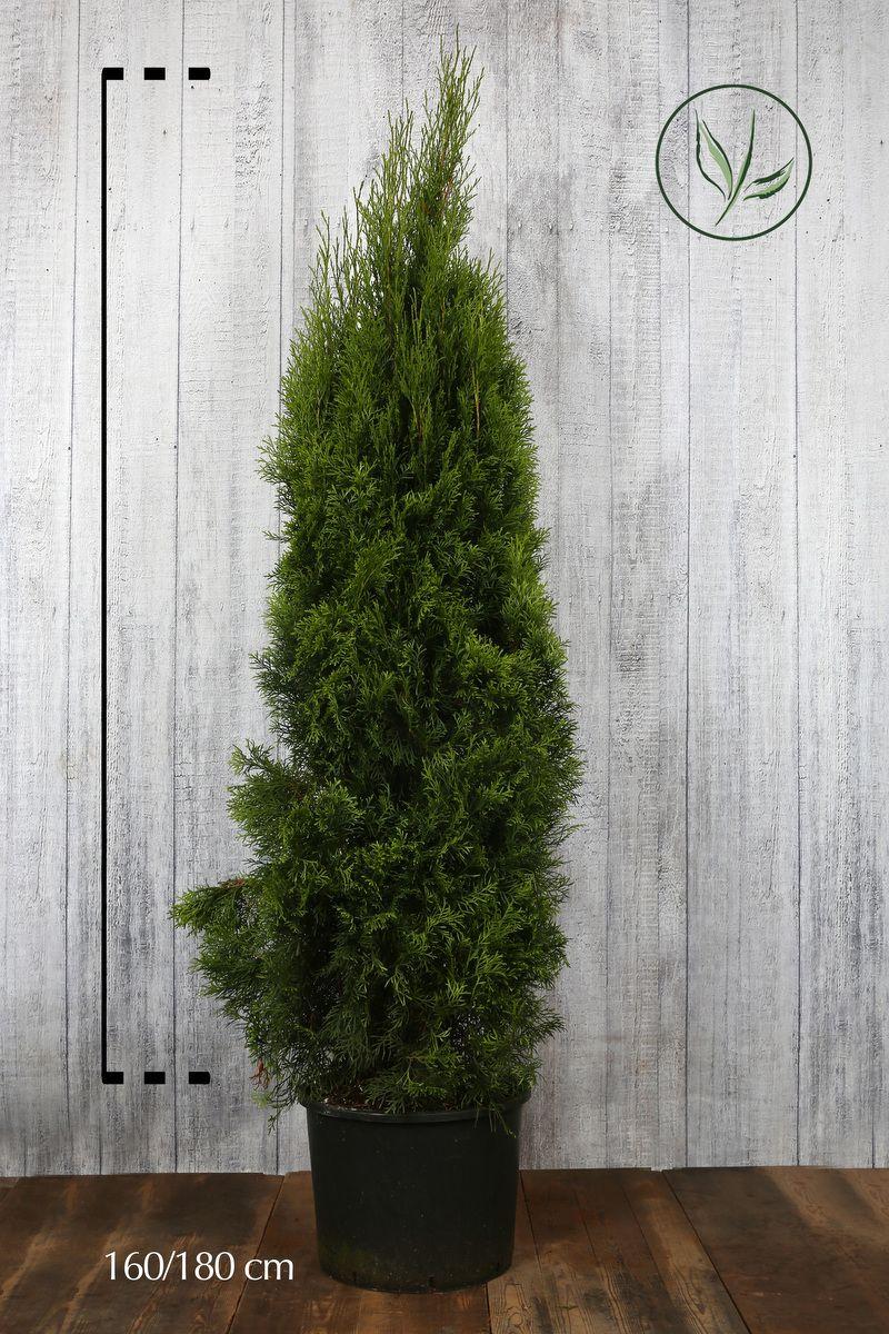 Thuya du Canada 'Smaragd'  Conteneur 160-180 cm Qualité extra