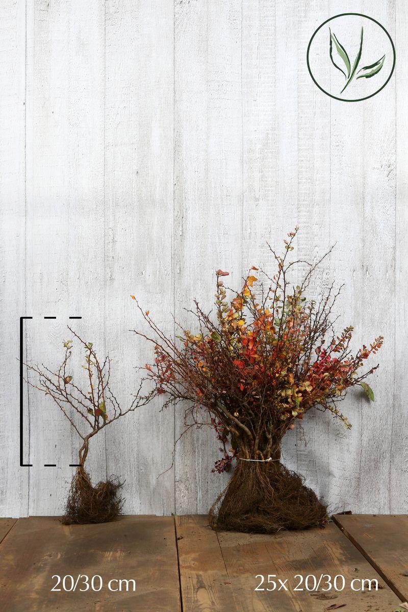 Épine-vinette de Thunberg   Racines nues 30-40 cm