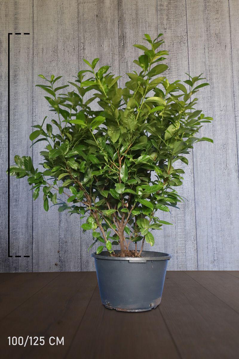 Laurier cerise 'Rotundifolia' Conteneur 100-125 cm