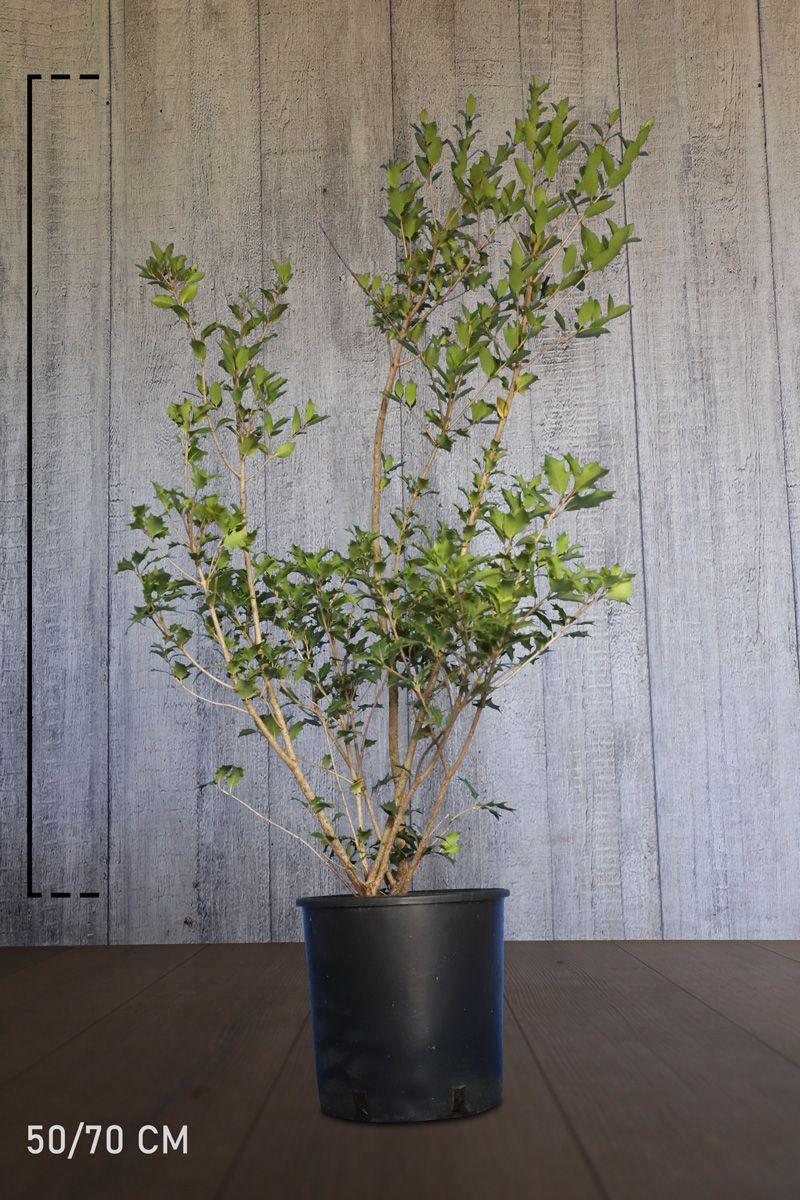 Osmanthe heterophyllus Conteneur 50-70 cm Qualité extra