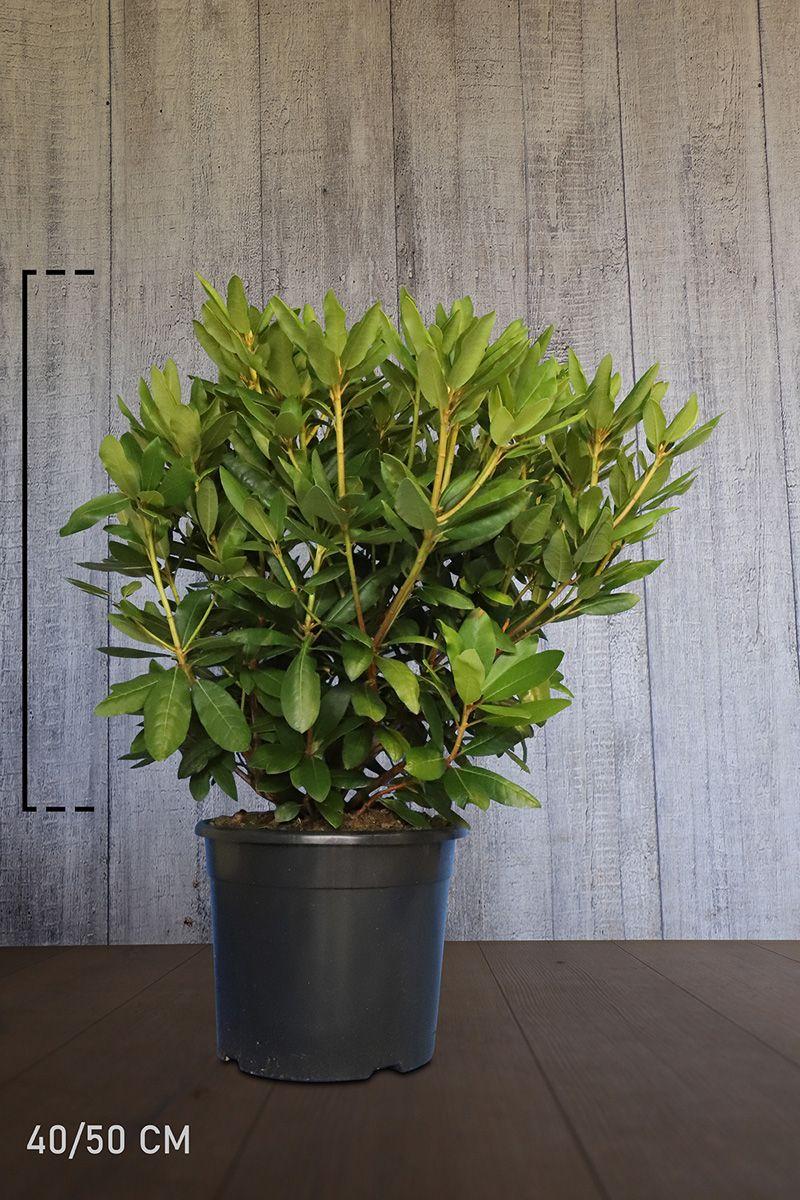 Rhododendron 'Roseum Elegans' Conteneur 40-50 cm Qualité extra