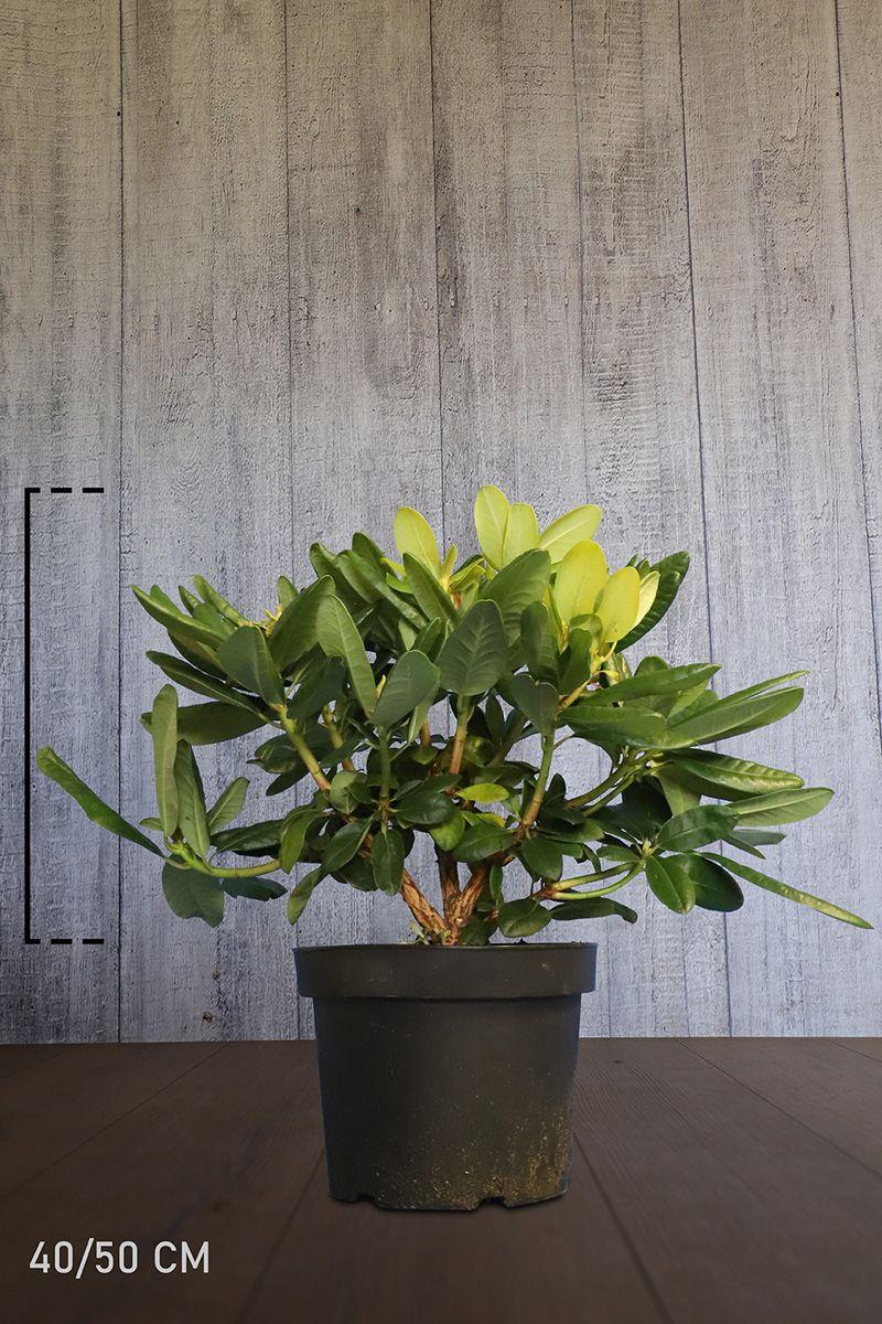 Rhododendron 'Scintillation'  Conteneur 40-50 cm Qualité extra