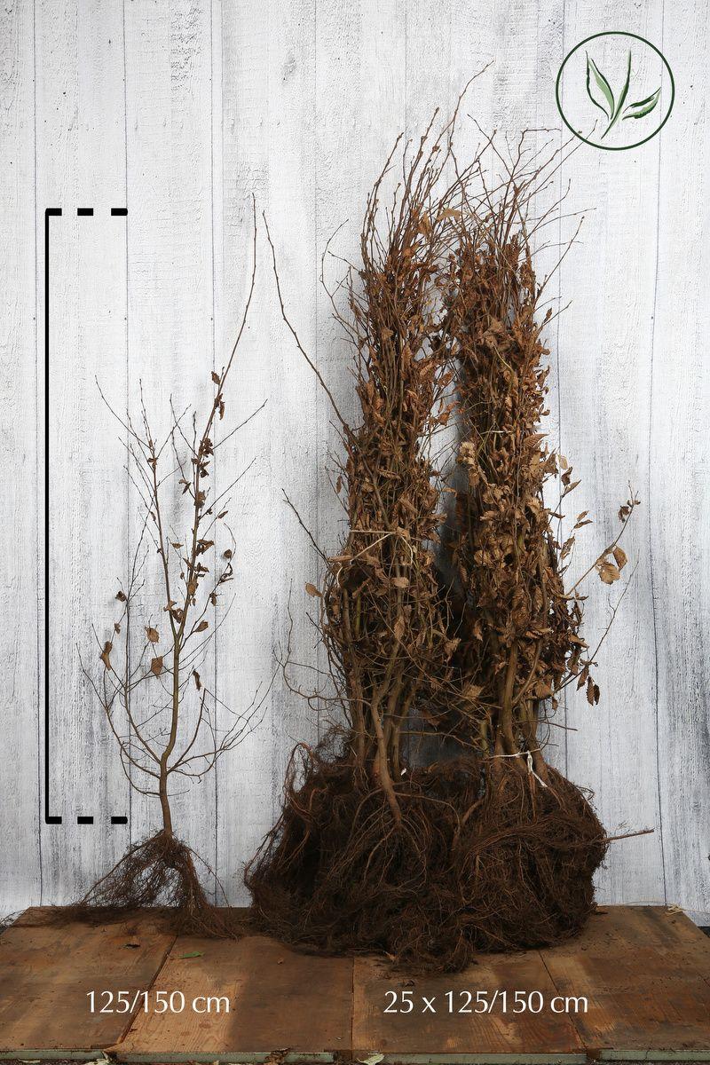 Charme commun  Racines nues 125-150 cm Qualité extra