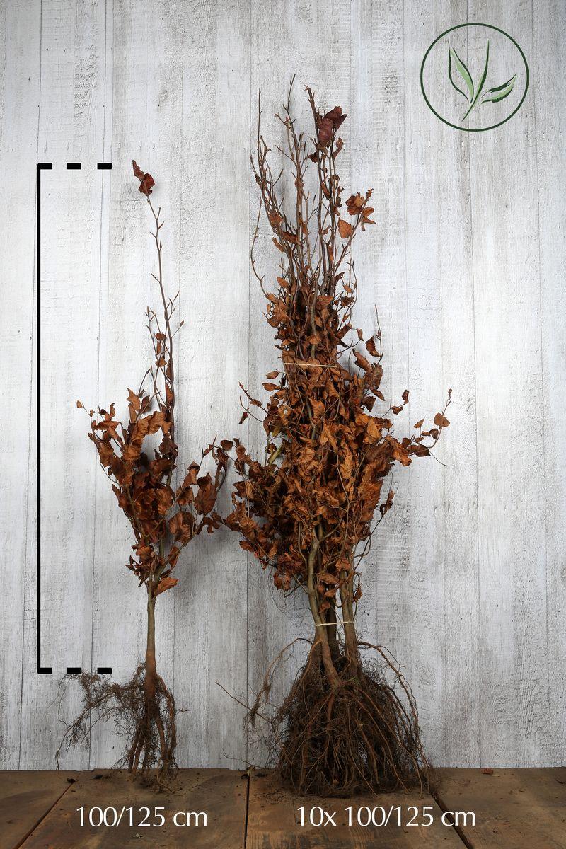 Hêtre pourpre  Racines nues 100-125 cm Qualité extra