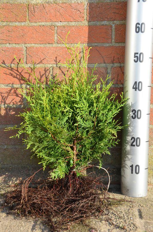 Thuya du Canada 'Brabant' Racines nues 30-40 cm
