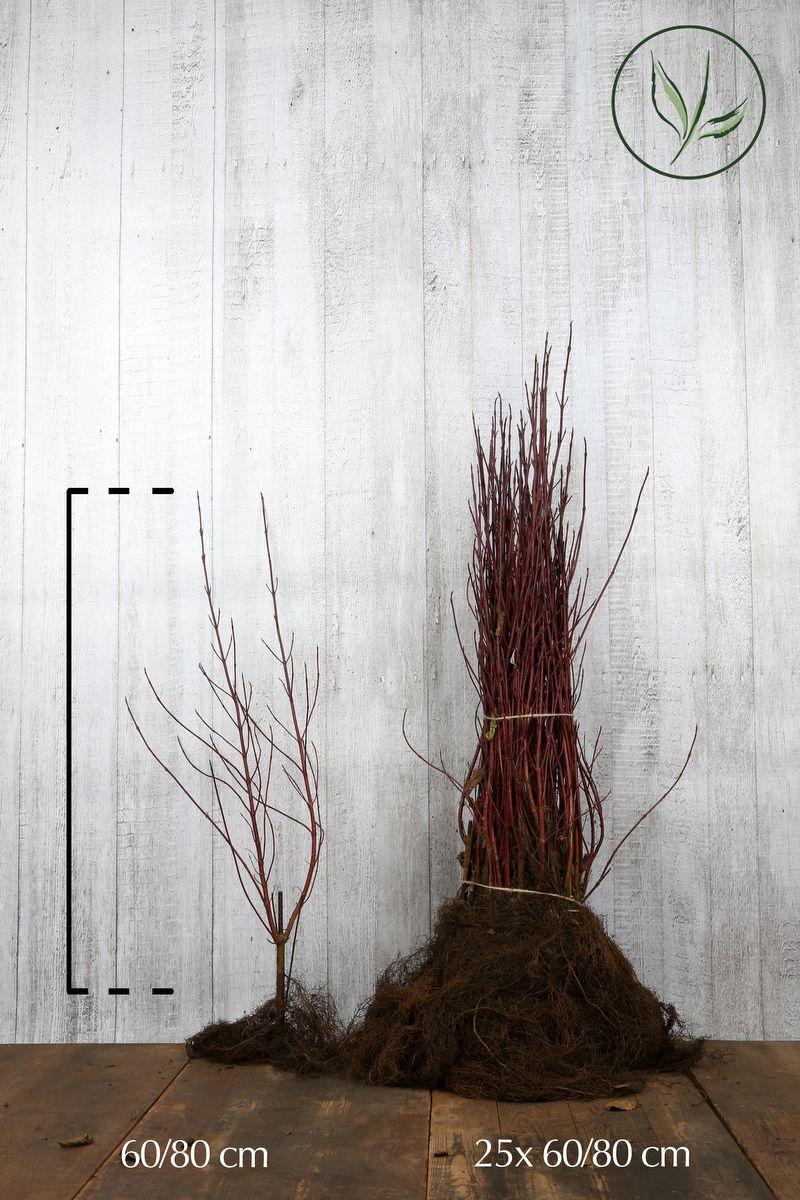 Cornouiller blanc 'Elegantissima'  Racines nues 60-80 cm