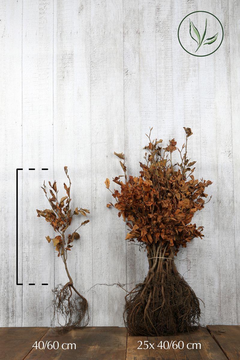 Hêtre commun, Hêtre vert  Racines nues 40-60 cm Qualité extra