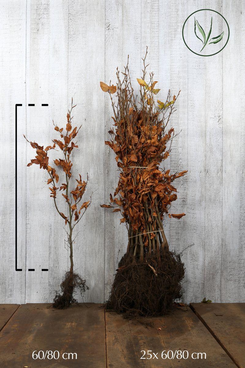 Hêtre commun, Hêtre vert  Racines nues 60-80 cm Qualité extra