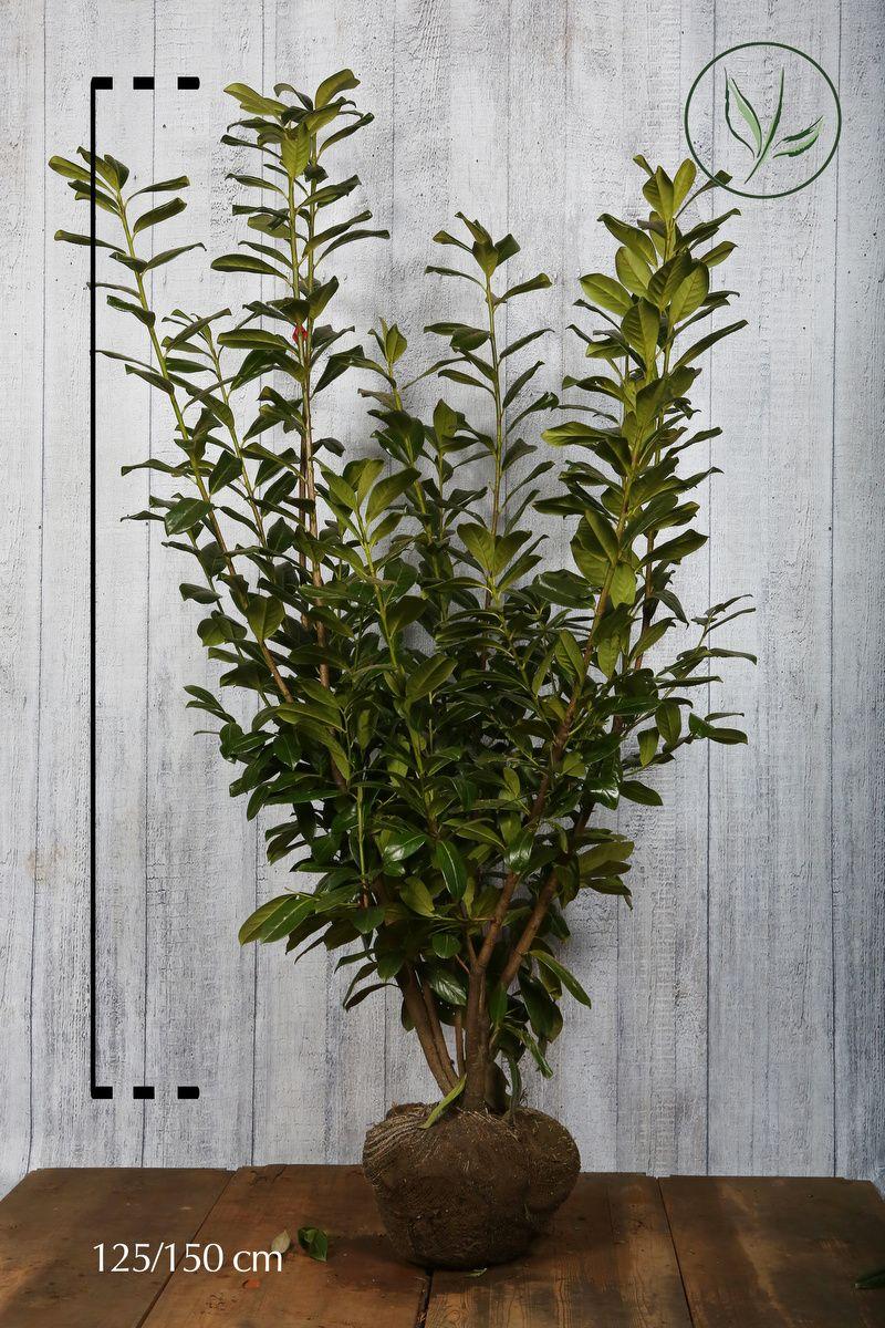 Laurier palme 'Novita'  En motte 125-150 cm Qualité extra