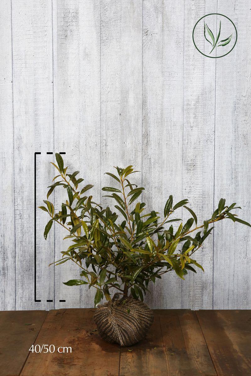 Laurier cerise 'Zabeliana'  En motte 40-50 cm