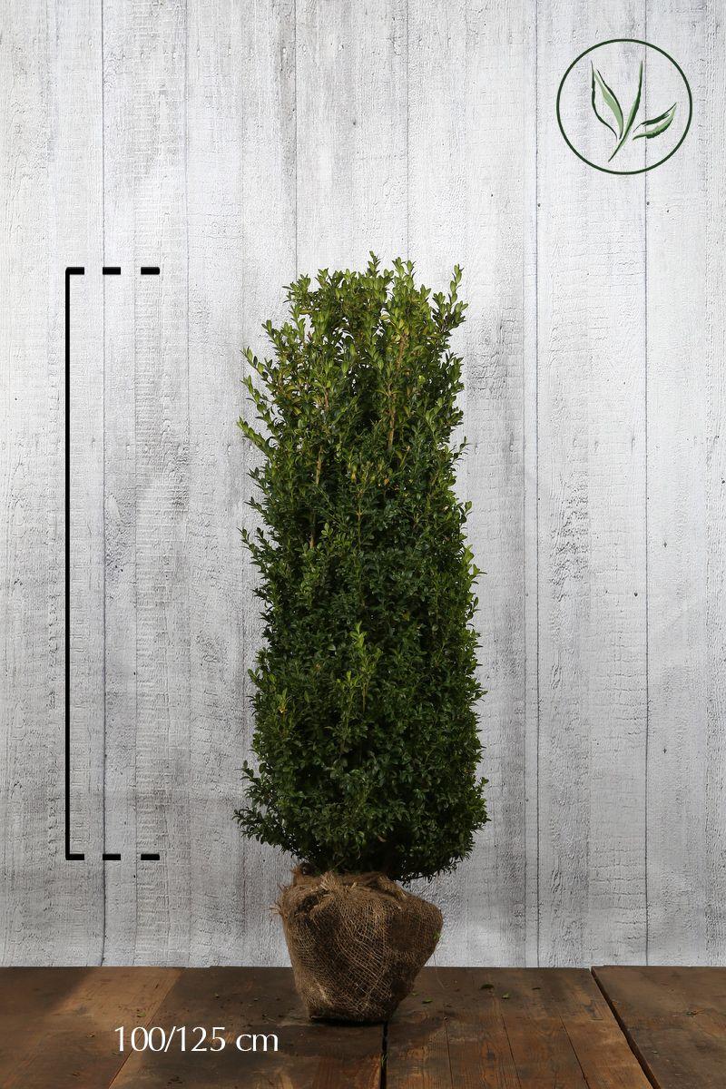 Buis - Arbustes En motte 100-125 cm Qualité extra