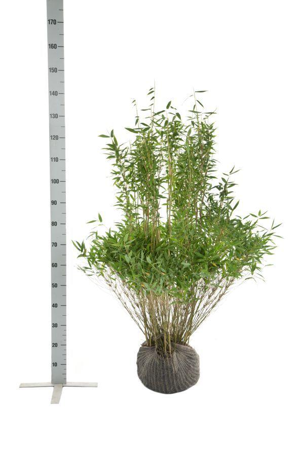 Fargesia murielae 'Simba' En motte 100-125 cm