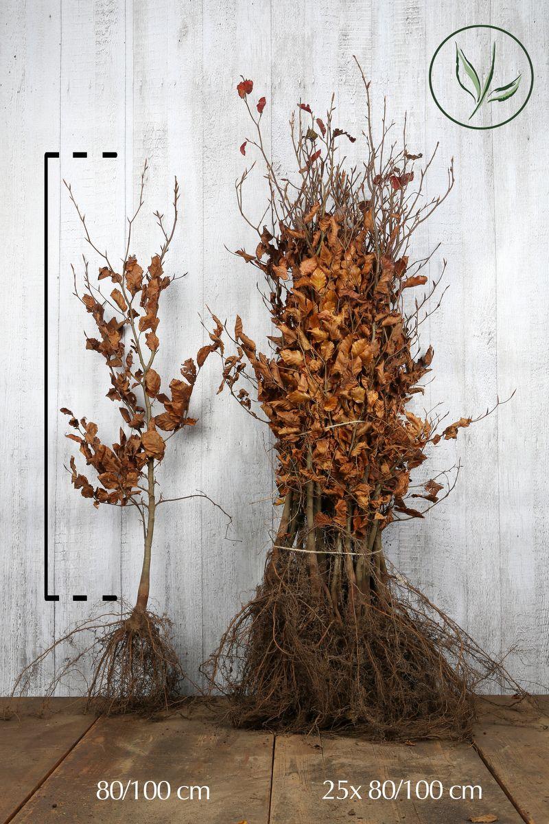 Hêtre pourpre  Racines nues 80-100 cm Qualité extra