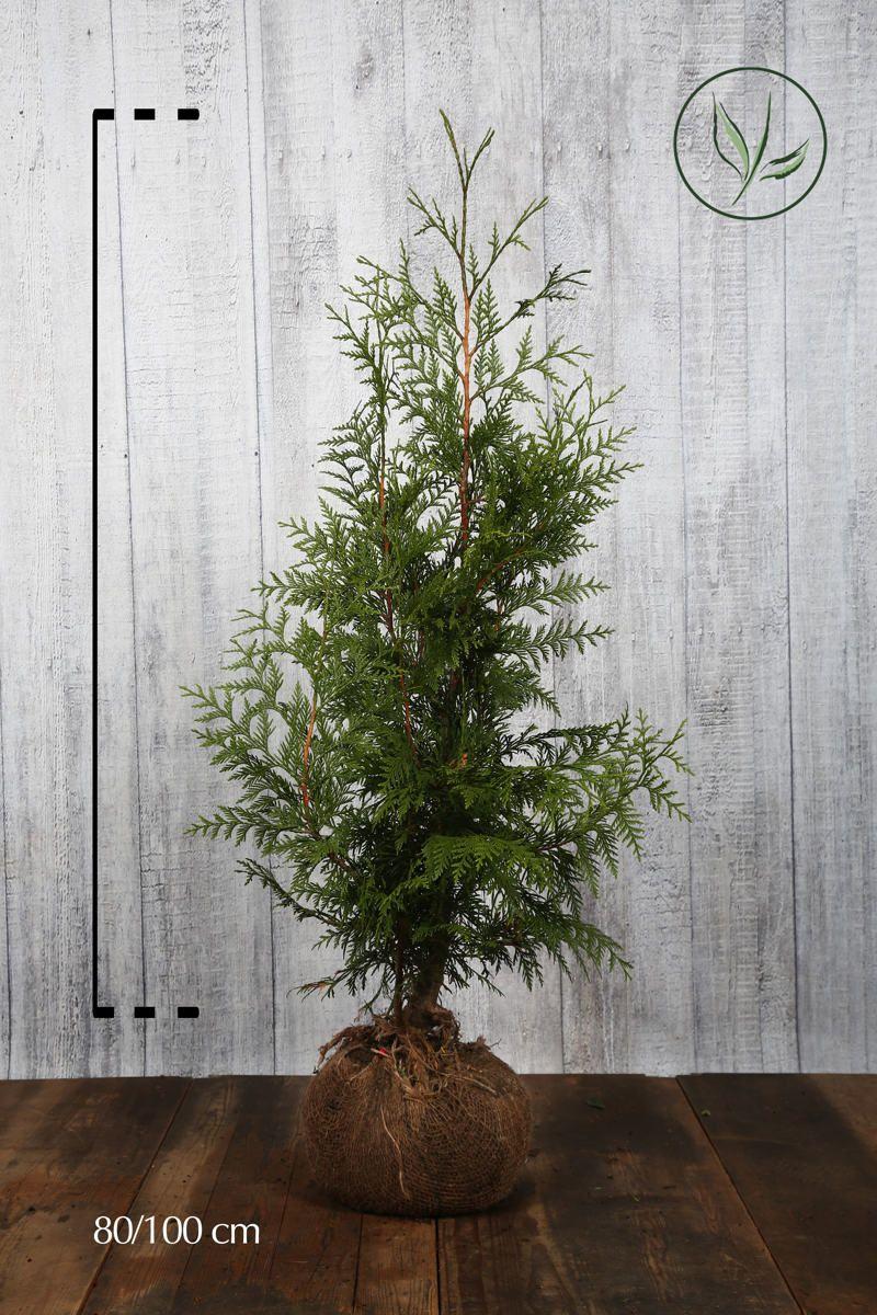 Thuya géant 'Excelsa' En motte 80-100 cm