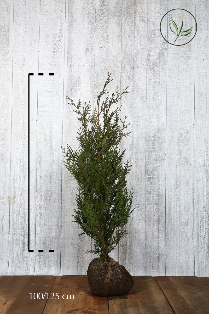 Thuya géant 'Atrovirens' En motte 100-125 cm