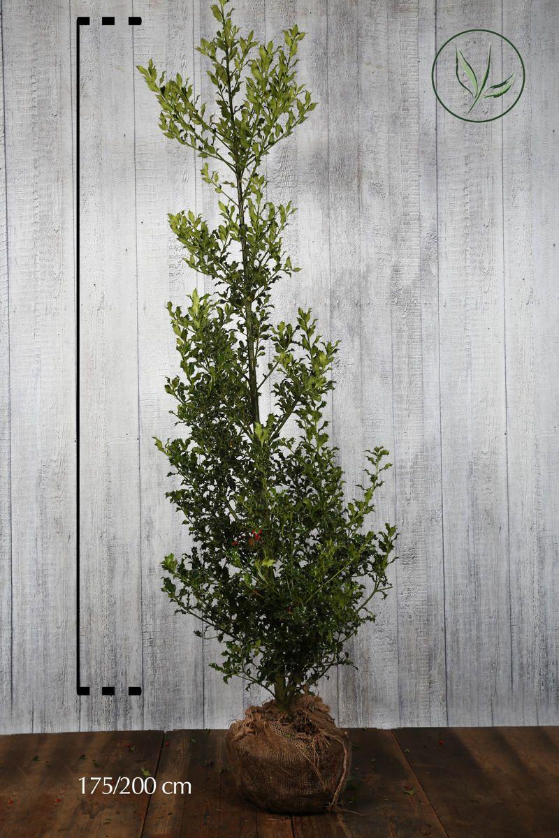 Houx 'Alaska'  En motte 175-200 cm