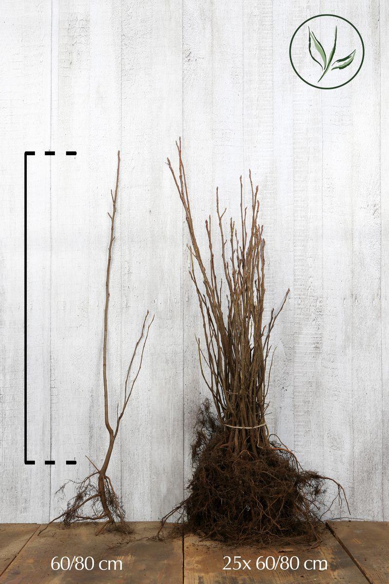 Amélanchier de Lamarck Racines nues 60-80 cm