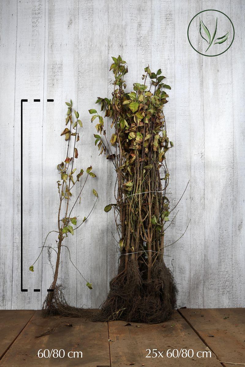 Cornouiller mâle Racines nues 60-80 cm