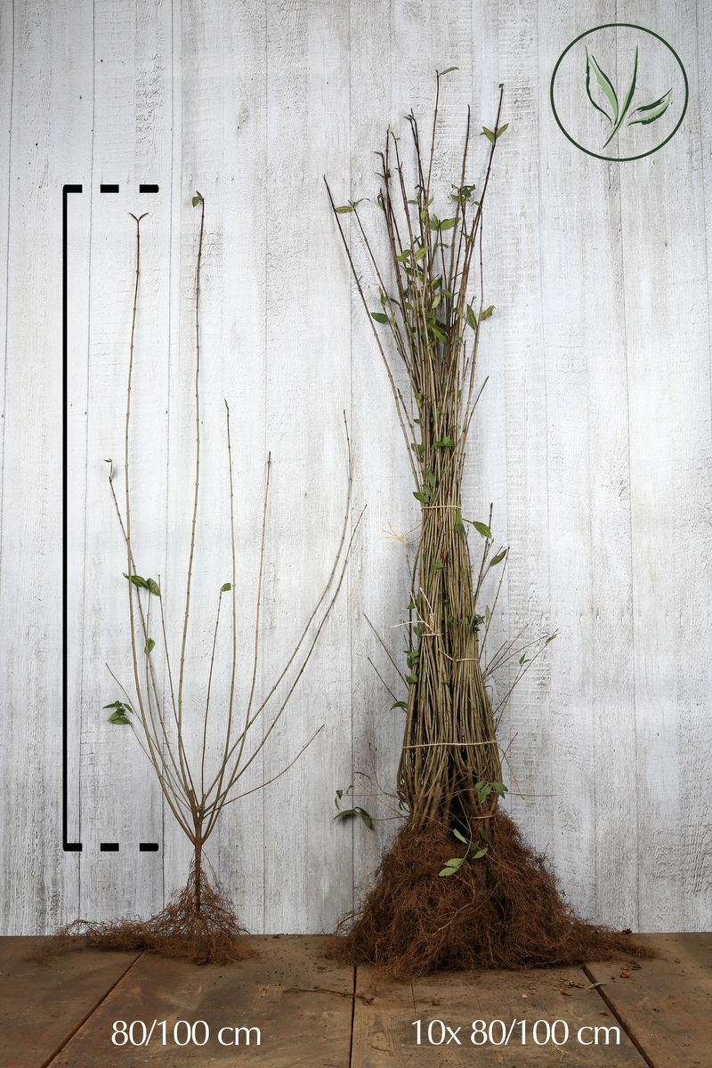 Troène commun 'Atrovirens'  Racines nues 80-100 cm