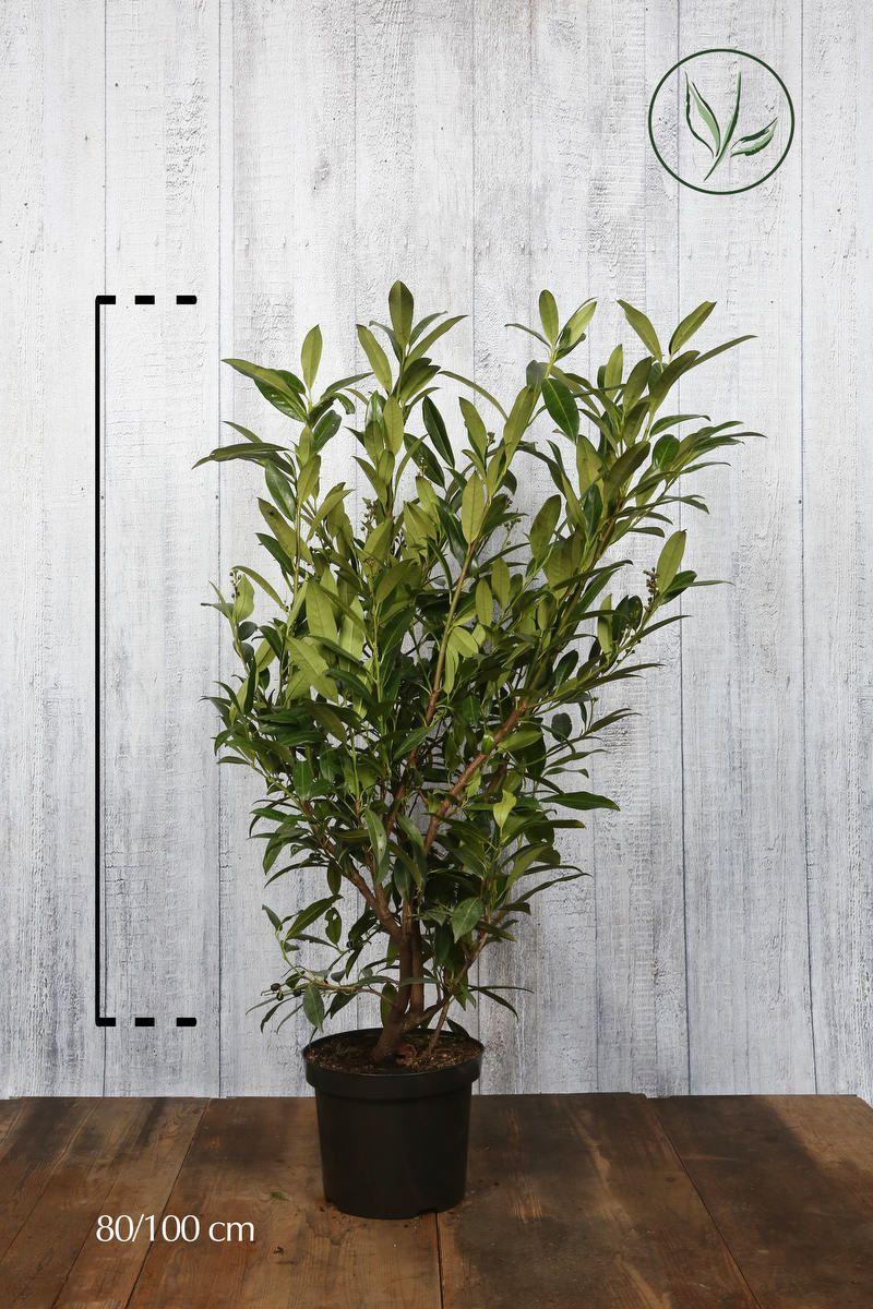 Laurier palme 'Herbergii'  Conteneur 80-100 cm