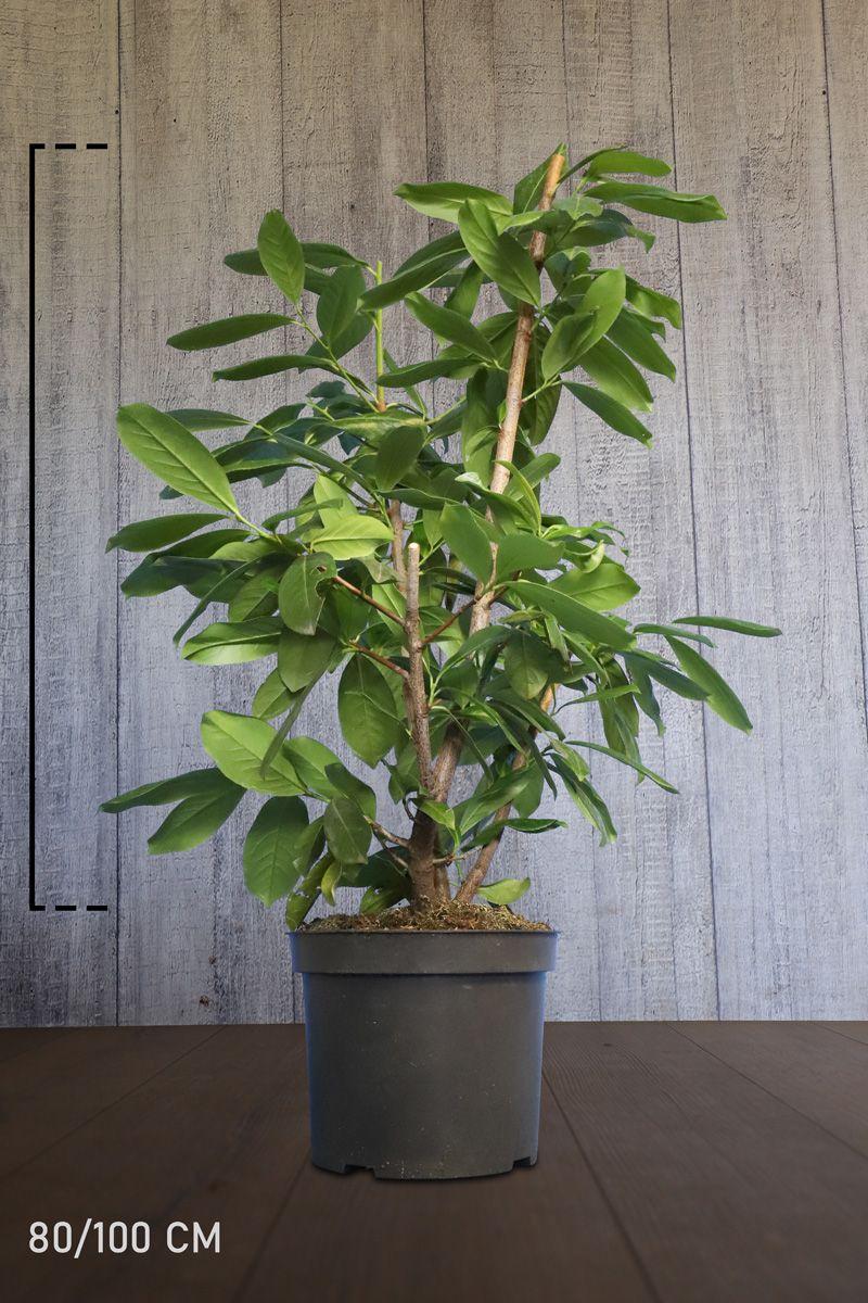 Laurier palme 'Novita'  Conteneur 80-100 cm