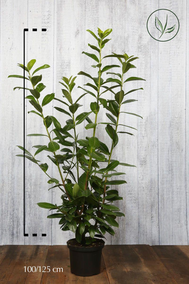 Laurier palme 'Novita'  Conteneur 100-125 cm