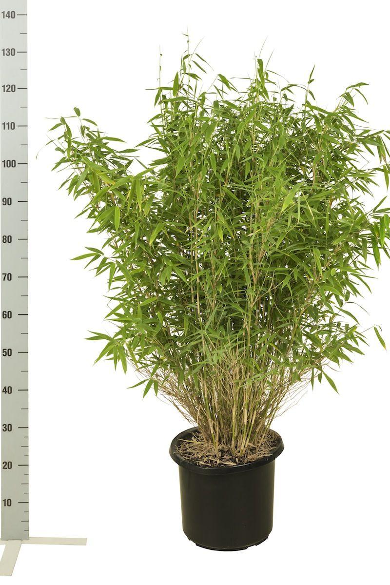 Fargesia murielae 'Simba' Conteneur 80-100 cm